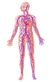 Blood vessels in the body